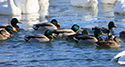 Ducks and Geese at Wellington Harbour